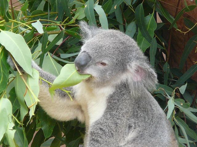 eucalyptus-olie-puistjes