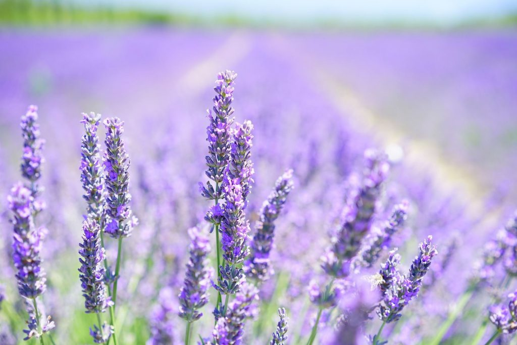 zelf verse lavendel thee maken