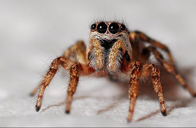 pepermunt etherische olie tegen spinnen